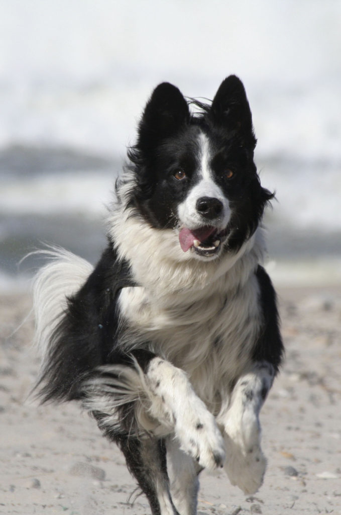 Border Collie Autarky hondenvoeding